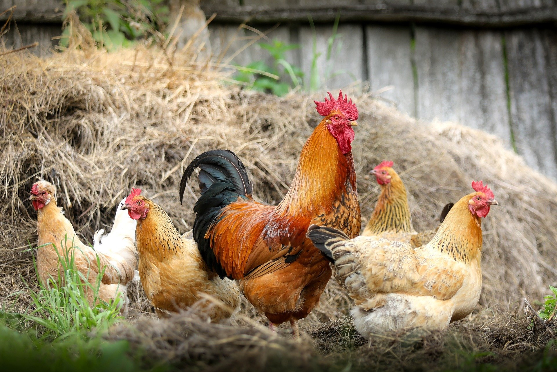 Small-scale poultry farming could mean big problem in developing countries