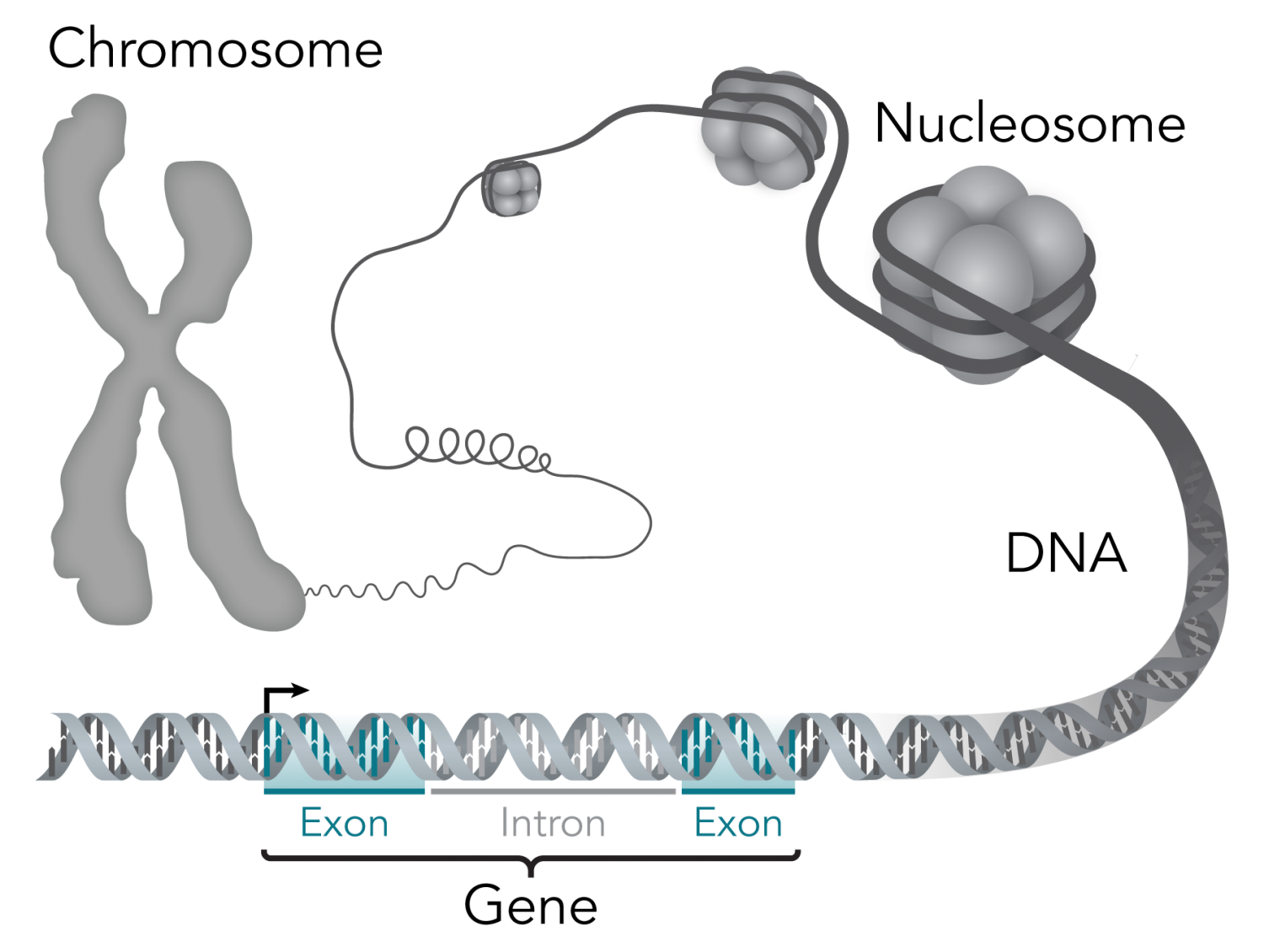 Scientists generate high-quality human vascular cells through genome editing technology