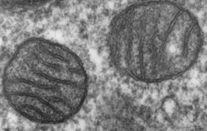 Mitochondrial permeability plays a key role in aging, recovery from ischemic injury