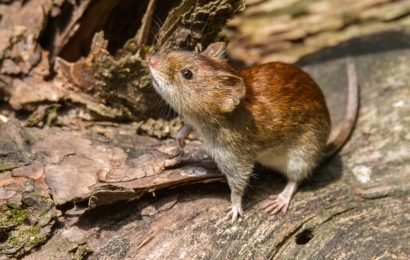 Dangerous Hantavirus spreads ever further – So you can protect yourself