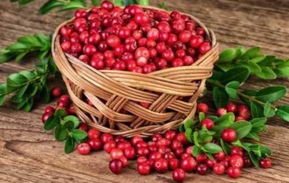 Bladder infection: Cranberry extract makes bacteria more sensitive to antibiotics