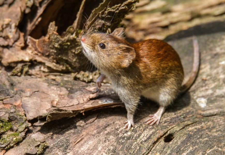 Caution: Dangerous Hantavirus spreads – how to protect yourself appropriately