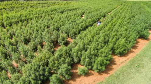 US growing largest crop of marijuana for research in 5 years