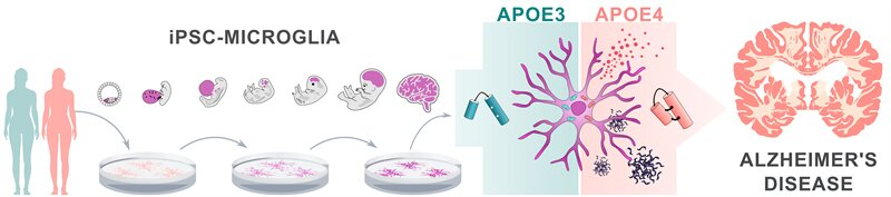 Alzheimer's disease risk gene APOE4 impairs function of brain immune cells
