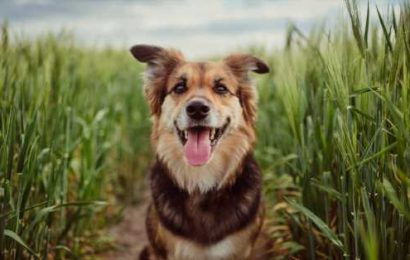 Dogs could be the missing link for understanding brain cancer