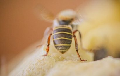 What makes honey stinger loose bees so healthy? Naturopathy Naturopathy Specialist Portal