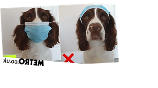 Let this adorable springer spaniel teach you the correct way to wear a mask