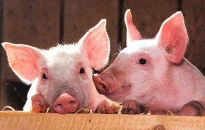 Research uncovers evidence of human susceptibility to emerging coronavirus strain in swine