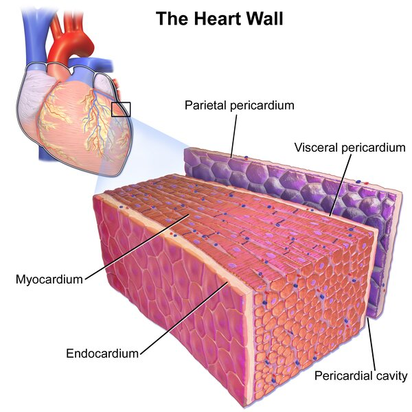 Even if you're asymptomatic, COVID-19 can harm your heart, study shows – here's what student athletes need to know