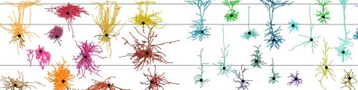 The tree of cortical cell types describes the diversity of neurons in the brain