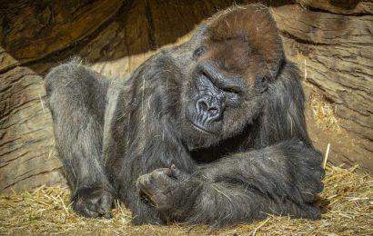 Gorillas test positive for coronavirus at San Diego Zoo Safari Park