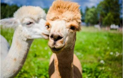 Alpaca nanobodies effective against South African SARS-CoV-2 variant