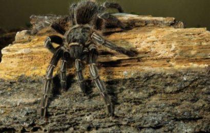 Tarantula venom could be used to treat Type 2 diabetes