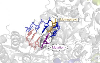 Molecular mechanisms of COVID drug candidate Molnupiravir unraveled