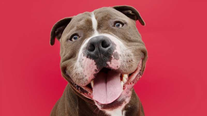 Here's What You Should Know Before Getting A Pitbull As A Pet