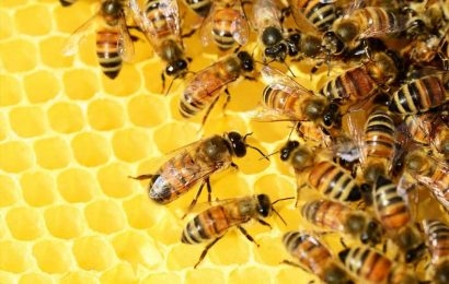 Using live bees for mental health therapy